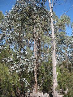 Eucalyptus cordata tree, Heartleaf Gum