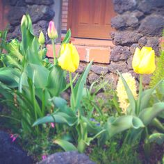 My little garden. Yellow tulips cheer me up!!