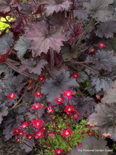 'Touran Red' Saxifrage with 'Frosted Violet' Heuchera. And some chartreuse hiding at the back. Gorgeous! Love it.