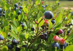 I think I want to try growing some blueberries this season. (Links to Sloat Garden Center's blueberry info)