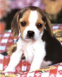 Within the BEAGLE PUPPIES gallery album you can enjoy large number pictures that you can talk about, rate/comment upon. Please feel free to share + upload your own Beagle Puppies pics and ask questions for advice & even instructions. Baby Beagle, Beagle Puppy, Mini Beagle, Pocket Beagle, Cute Beagles, Cute Puppies, Cute Dogs, Dogs And Puppies, Doggies