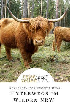 Ein Wald, mit Rindern und Pferden, die darin weiden? Ich hatte keine Ahnung, dass es so etwas in NRW gibt. Und das mitten im Naturpark Teutoburger Wald.