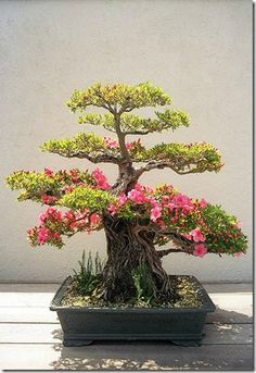 An old Azalea Bonsai, probably a Satsuki type, from the Collection of the National Bonsai and Penjing Mueseum at The United States National Arboretum.