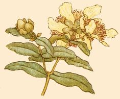 myrtle flower drawing - Google Search