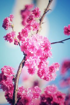#CherryBlossom #Flower Trek Bicycle Corporation, #Spring #Blossom Petal, Sky, Wallpaper - Follow @extremegentleman for more pics like this!