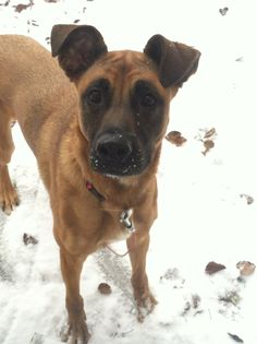 German Shepherd Boxer mix.  Looks like Piper!