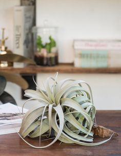 care and feeding of tillandsia