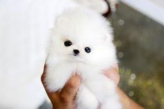 teacup chihuahua - Google Search