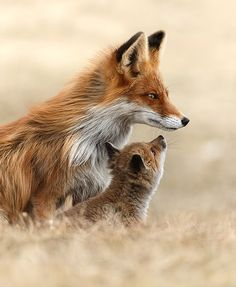 beautiful-wildlife: Greeting by Gabi Marklein (The Tweed Fox) - Animals Nature Animals, Animals And Pets, Animals Images, Wildlife Nature, Wild Animals, Beautiful Creatures, Animals Beautiful, Cute Baby Animals, Funny Animals
