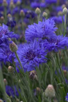 Cornflower 'Florists Blue Boy' | Lambley Nursery