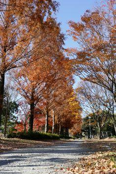 メタセコイアの紅葉 Tree-lined street Hamamatsu, Tree Line, Country Roads, Japan, Street, City, Plants, Cities, Plant