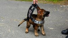 This tiny police dog-in-training is the cutest future K-9 cop ever