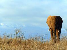 Kenia Kilimanjaro Kilimanjaro, Elephant, Africa, Animals, Kenya, Animales, Animaux, Elephants, Animal