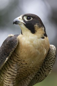 Peregrine falcon. Fastest animal known to man. Measured to dive bomb prey and…