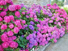 1000 images about hortensia on pinterest hortensia - Cuidar hortensias exterior ...