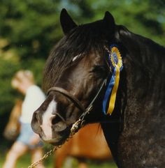 Welsh Cob (section D) stallion Derwen Tennessee Express)