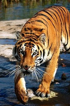Why did the tigress cross the river?  Because she wanted to eat the cameraman on the other side. (Just kidding. It's very rare that a tiger tries to eat a human. They might attack one if they feel threatened, but they probably won't eat them unless there is a shortage of prey for them.