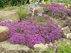 Thymus Serpyllum on Pinterest | Ground Covering, Drought ...
