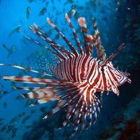Lionfish - a predator of tropical fish.
