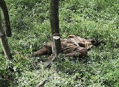 Okonkwo's father, Unoka, was left in the evil forest to die because of a disease which causes stomach to swell. This disease is considered an abomination to the earth. Unoka died without paying his debts.