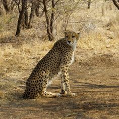Cheetah at Cheetah Conservation Fund in Namibia