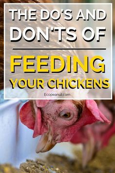 Remember that table scraps do not form a complete and balanced diet for your chickens. Scraps can work well to fill out your chicken's diet, or to provide them a special, tasty treat, but they should not be the only nutritional source you rely on for your birds. #chicken #homestead #farming #backyardfarming