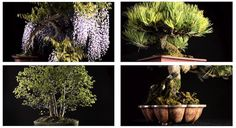 Promoting our latest movie, these are 4 (out of 9) #Bonsai #trees that we filmed. See: http://www.youtube.com/watch?v=2mKdPZXzLXI