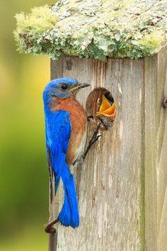 Eastern Bluebirds make use of a nest box. Photo: Hazel Erikson/Audubon Photography Awards