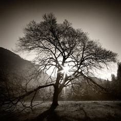 Elm Tree #nature #allergies #beauty