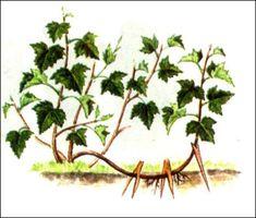 Об омоложении кустов смородины