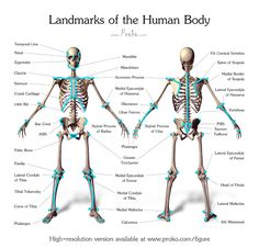 Landmarks of the Human Body | Proko Before we move on to applying structure and proportion to our figure drawings we need to learn the landmarks of the body.
