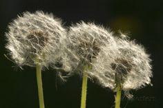 Dandelion Seed-Heads (