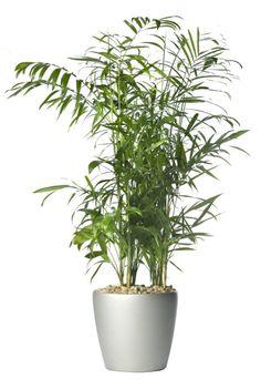 bambuszpálma