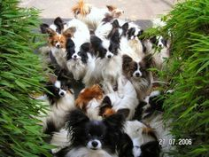 Check out the lil guy in front!! Butterfly dogs :)