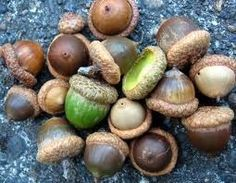 Acorns are one of the most valuable foods we can get from any wild plant. They are abundant, easy to identify and very high in calories (around 2,000 calories per pound) all of which makes them impossible to ignore as a survival food…