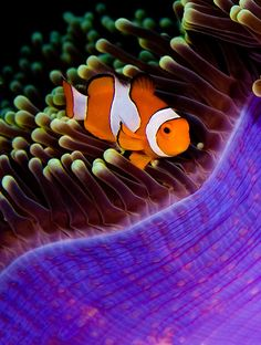 Clown Fish and His Anemone