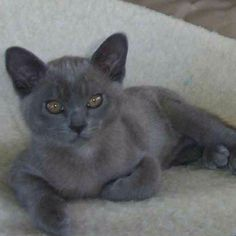Blue Burmese kitten ... a strong contender ...