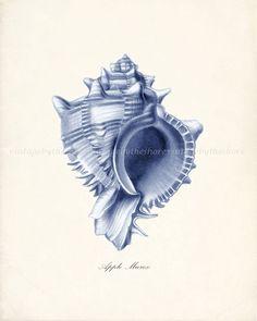 Vintage Apple Murex Sea Shell Natural History Wall Decor Print 8x10 - Blue