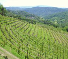 Wijngaarden in de buurt van Spigno Monferrato.    www.huizenjacht-italie.com