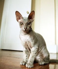 A hybrid of the Donskoy and Oriental Shorthair, the Peterbald was left with a rather exotic look. AWE!!!