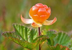 Cloudberry - Lakka