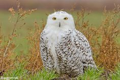 snowy owl by Ryan Griffiths, via 500px