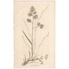 Sowerby antique 1796 hand-colored engraving, Pl 335 Rough Cock's-foot Grass  | eBay