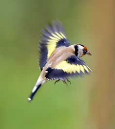 Goldfinch by Ron McCombe