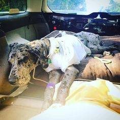 Finally home; lots of staples and two weeks of laying low in our future but all is well! #greatdane #greatdanesofinstagram #greatdanesunlimited #greatdanesofig #danesofinstagram #danesunlimited #danesofig #mydanebaby #postsurgery #mylove by sweet_lillian