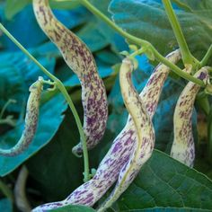 Organic Dragon Langerie Snap Bean Seeds NonGMO Certified Organic Heirloom Seed Packet ** Visit the image link more details.