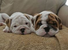Bulldog puppies #buldog