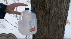 In this video, Mark Donovan of HomeAdditionPlus.com shows how to tap maple trees for producing 100% pure maple syrup.