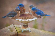 The Bluebird Breakfast Club - FeederWatch