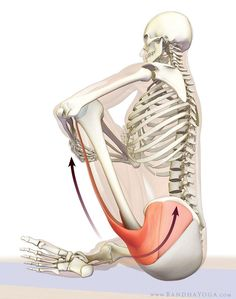 The Daily Bandha: How to Release the Hip Internal Rotators for Padmasana (Lotus Pose) Hip Flexor Stretches, Tight Hips Stretches, Tight Hip Flexors, Hip Muscles Anatomy, Hip Anatomy, Yoga Anatomy, Medius Gluteus Exercises, Glute Medius, How To Stretch Hips